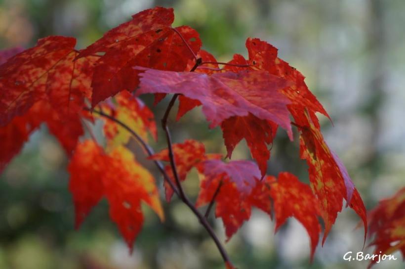 gilles-barjon-feuille rouge